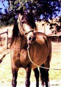 Capoeira BSN, a Peruvian Paso Stallion